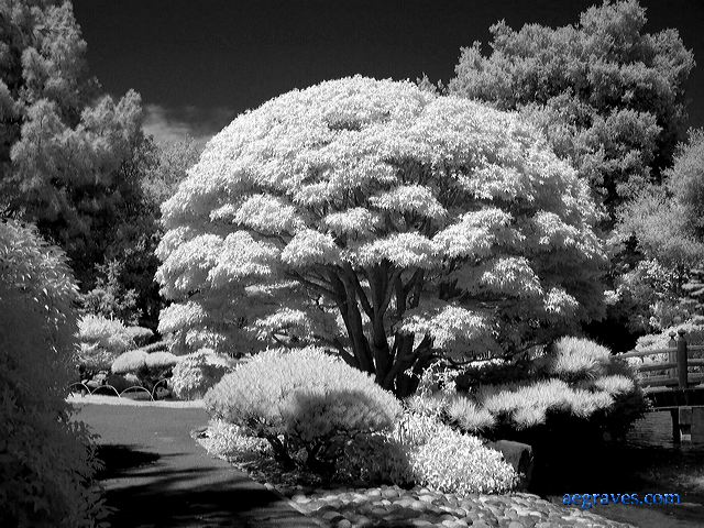 Infrared image of a pruned Japanese maple, San Mateo, California