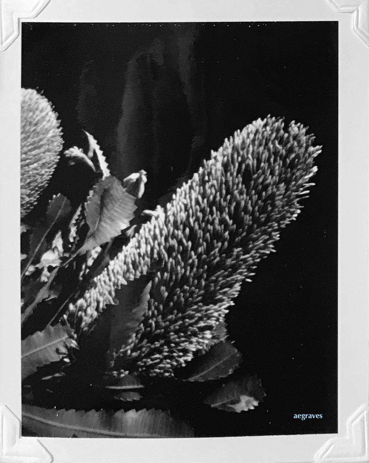 pinhole photo of a Banksia